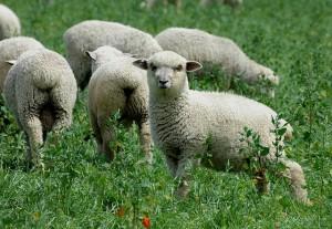 sheep-738678_640